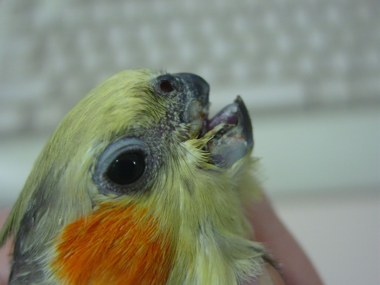 bird vet beak repair