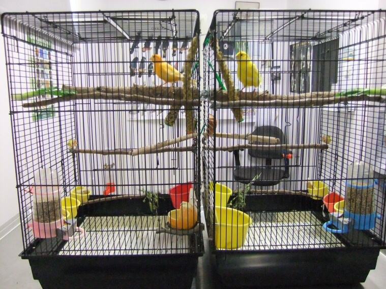 Canary vet - birds do better in induvidual side by side cages